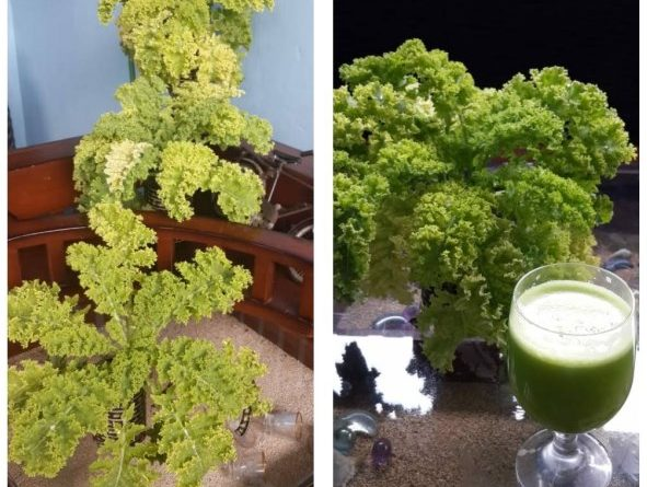 Hidroponik Sayuran KALE di Indonesia